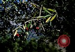 Image of Olive trees Morocco North Africa, 1943, second 12 stock footage video 65675020497