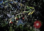 Image of Olive trees Morocco North Africa, 1943, second 17 stock footage video 65675020497