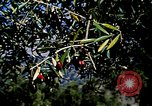 Image of Olive trees Morocco North Africa, 1943, second 18 stock footage video 65675020497