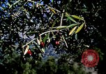 Image of Olive trees Morocco North Africa, 1943, second 19 stock footage video 65675020497