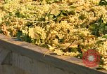 Image of grapes California United States USA, 1967, second 3 stock footage video 65675020972