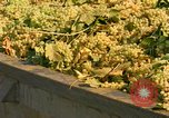 Image of grapes California United States USA, 1967, second 5 stock footage video 65675020972