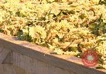 Image of grapes California United States USA, 1967, second 6 stock footage video 65675020972