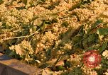 Image of grapes California United States USA, 1967, second 8 stock footage video 65675020972