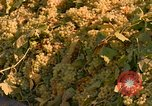Image of grapes California United States USA, 1967, second 12 stock footage video 65675020972