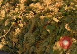 Image of grapes California United States USA, 1967, second 13 stock footage video 65675020972
