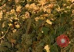 Image of grapes California United States USA, 1967, second 14 stock footage video 65675020972