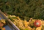 Image of grapes California United States USA, 1967, second 29 stock footage video 65675020972