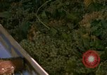 Image of grapes California United States USA, 1967, second 34 stock footage video 65675020972