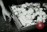 Image of poultry farm Berea Kentucky United States USA, 1933, second 50 stock footage video 65675021251