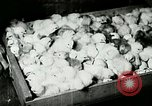 Image of poultry farm Berea Kentucky United States USA, 1933, second 51 stock footage video 65675021251