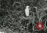 Image of wild birds United States USA, 1921, second 33 stock footage video 65675021529