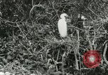 Image of wild birds United States USA, 1921, second 34 stock footage video 65675021529