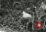 Image of wild birds United States USA, 1921, second 43 stock footage video 65675021529