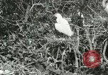 Image of wild birds United States USA, 1921, second 46 stock footage video 65675021529