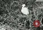 Image of wild birds United States USA, 1921, second 56 stock footage video 65675021529
