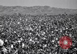 Image of cotton picking United States USA, 1939, second 4 stock footage video 65675021576