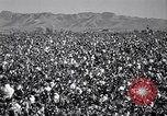 Image of cotton picking United States USA, 1939, second 5 stock footage video 65675021576