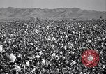 Image of cotton picking United States USA, 1939, second 6 stock footage video 65675021576