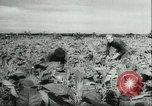 Image of Farming tobacco and fur in Denmark Denmark, 1942, second 6 stock footage video 65675021778