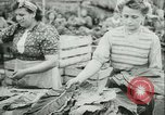 Image of Farming tobacco and fur in Denmark Denmark, 1942, second 13 stock footage video 65675021778