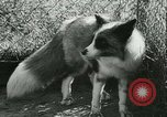 Image of Farming tobacco and fur in Denmark Denmark, 1942, second 44 stock footage video 65675021778