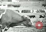 Image of foot and mouth disease California United States USA, 1925, second 31 stock footage video 65675022115