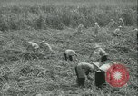 Image of Sugarcane Field Taiwan, 1958, second 21 stock footage video 65675022486
