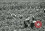 Image of Sugarcane Field Taiwan, 1958, second 22 stock footage video 65675022486