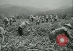 Image of Sugarcane Field Taiwan, 1958, second 23 stock footage video 65675022486