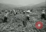 Image of Sugarcane Field Taiwan, 1958, second 26 stock footage video 65675022486