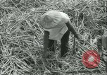 Image of Sugarcane Field Taiwan, 1958, second 27 stock footage video 65675022486