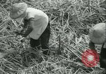 Image of Sugarcane Field Taiwan, 1958, second 28 stock footage video 65675022486
