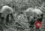 Image of Sugarcane Field Taiwan, 1958, second 30 stock footage video 65675022486