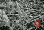 Image of Sugarcane Field Taiwan, 1958, second 31 stock footage video 65675022486