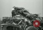 Image of Sugarcane Field Taiwan, 1958, second 43 stock footage video 65675022486