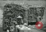 Image of Sugarcane Field Taiwan, 1958, second 47 stock footage video 65675022486
