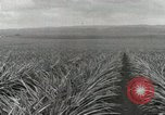 Image of Pineapple harvested Hawaii USA, 1916, second 27 stock footage video 65675022622