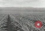 Image of Pineapple harvested Hawaii USA, 1916, second 33 stock footage video 65675022622