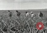 Image of Pineapple harvested Hawaii USA, 1916, second 45 stock footage video 65675022622