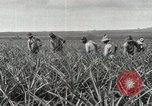 Image of Pineapple harvested Hawaii USA, 1916, second 46 stock footage video 65675022622