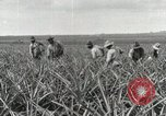 Image of Pineapple harvested Hawaii USA, 1916, second 48 stock footage video 65675022622