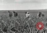 Image of Pineapple harvested Hawaii USA, 1916, second 49 stock footage video 65675022622