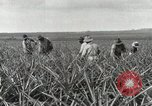 Image of Pineapple harvested Hawaii USA, 1916, second 50 stock footage video 65675022622