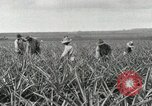 Image of Pineapple harvested Hawaii USA, 1916, second 51 stock footage video 65675022622
