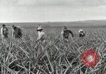 Image of Pineapple harvested Hawaii USA, 1916, second 52 stock footage video 65675022622