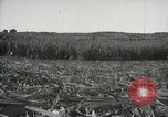 Image of Sugarcane fields Hawaii USA, 1916, second 43 stock footage video 65675022626