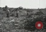 Image of Sugarcane fields Hawaii USA, 1916, second 50 stock footage video 65675022626
