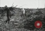 Image of Sugarcane fields Hawaii USA, 1916, second 52 stock footage video 65675022626