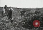 Image of Sugarcane fields Hawaii USA, 1916, second 55 stock footage video 65675022626